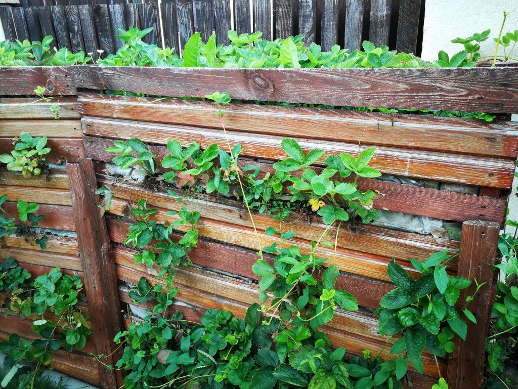 Prima variantă de lăzi din paleți pentru cultivarea pe verticală a căpșunilor