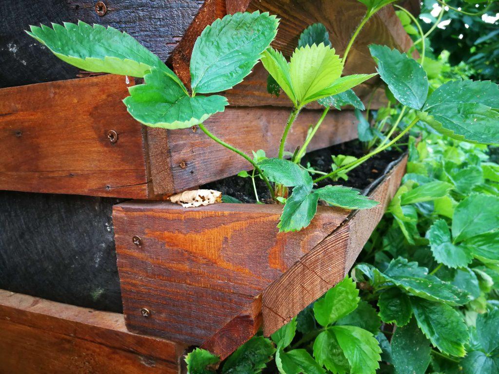 Mini-terase cu căpșuni pentru cultivarea pe verticală