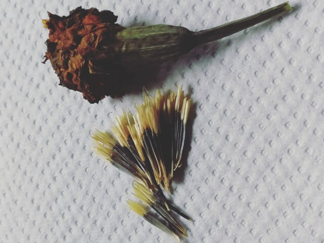 Floare de crăiță uscată și semințe