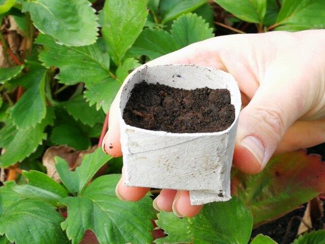 Recipient confecționat dintr-un tub de carton umplut cu pământ pentru înmulțirea cu stoloni de căpșuni