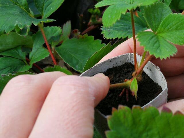 Stoloni de căpșuni care sunt îngropați în pământ pentru a dezvolta rădăcini