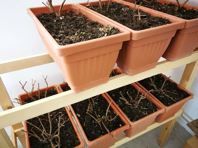 Fuchsia, floare taiata si depozitata in jardiniere pentru iarna