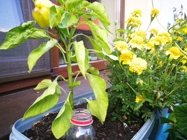 Cum poti avea legume crescute in ghivece in cativa pasi simpli?