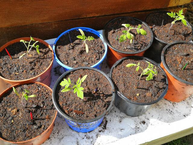Rasaduri de legume in ghivece asezate pe tava intr-o zi insorita