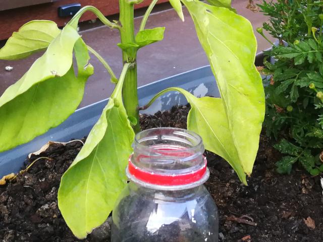 Legume crescute in ghivece irigate prin sistem improvizat dintr-o sticla de plastic