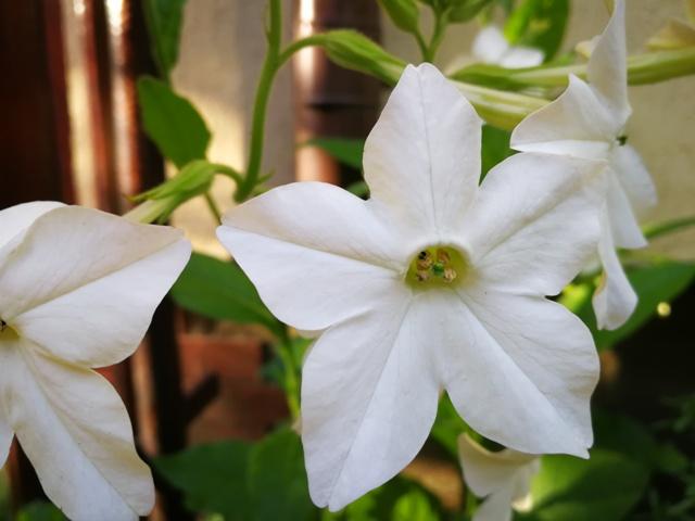 Flori de regina nopții