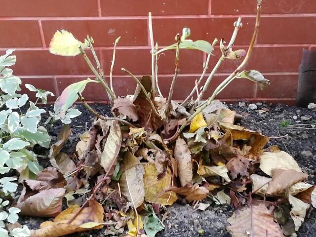Protejarea plantelor perene cu frunze uscate în rondurile de flori