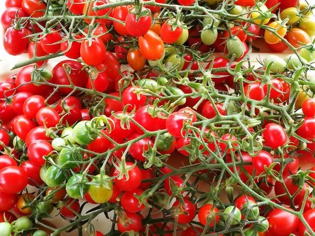 Recoltă importantă de ciorchini de roșii cherry coapte și câteva galbene sau verzi