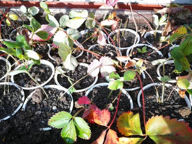 Plantație provizorie de căpșuni în ghivece îngropate în pământ