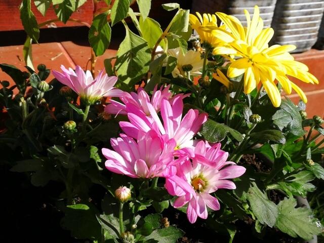 Crizanteme roz și galbene într-o zi însorită de octombrie în grădină
