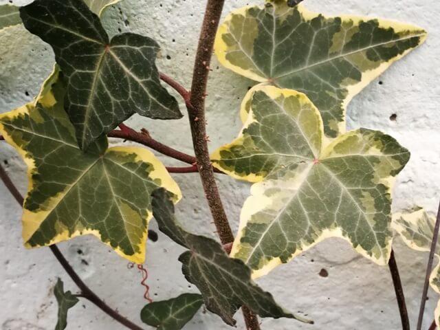 Rădăcini aeriene de iederă