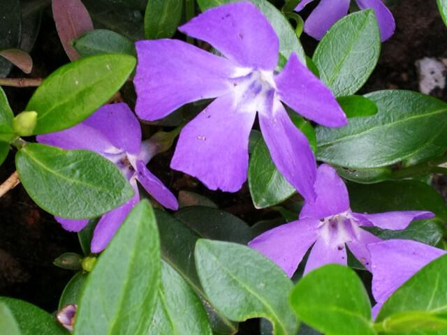 Vinca minor – planta perena scunda, iubitoare de umbra