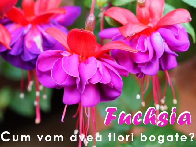 Fuchsia, floare delicata. Ce facem pentru a inflori bogat?